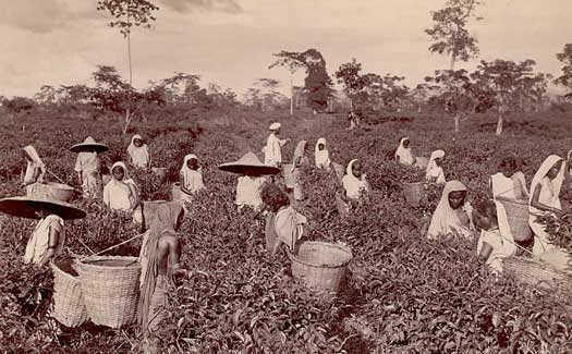 Women tea pickers in Assam