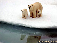 Polar bear and cubs, A Gerdes, IODP