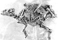 Early horse skeleton, Propalaeotherium