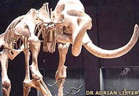350,000-year-old skeleton of a woolly mammoth