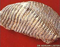 150,000-year-old mammoth tooth