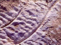 Sets of scratch marks from the theropod swimming trackway